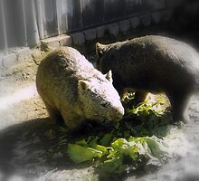 Wombats by kenoth
