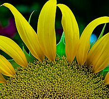 Sunflower#1 by Mukesh Srivastava