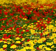 Mixture Of Crown Daisy's & Poppy's by RayFarrugia