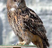 Eagle Owl by Anthony Vella