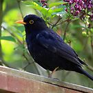 Blackbird by LisaRoberts