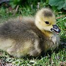Great little Gosling! by Carol Clifford