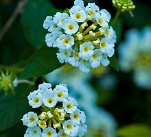 Wild Flowers by leolintang