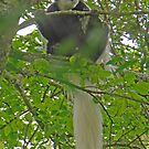 Colobus Monkey, Arusha National Park, Tanzania, Africa by Adrian Paul