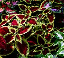 Beautiful Coleus by sstarlightss