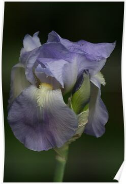Iris in Blue by Pamela Jayne Smith