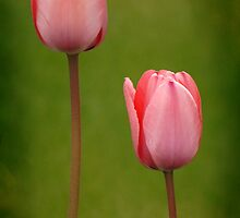 Pink Tulip Pair by Ryan Houston