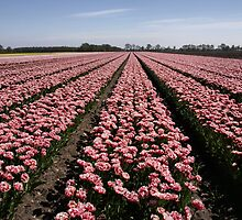 Field of Tulips by AnnieSnel