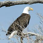 bald eagle by LarryH