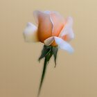 Pastel Rose by Walter Colaiaco