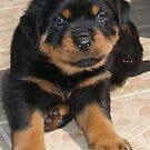 Perplexed Rottweiler by taiche