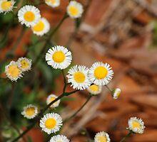 Tiny Daisies by Peri