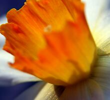 Daffodil Ablaze by Jeff Newell