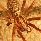 House Spider by ChrisHarvey67