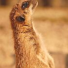 Meerkat by ChrisHarvey67