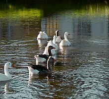 A Gaggle of Domestic Geese by RatManDude