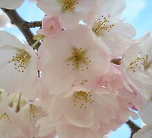 Cherry Blossoms by TabithaPayne