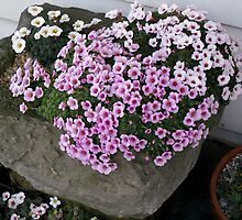 Trough with Saxifrage by Betty Mackey