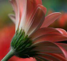 Gerber In Pink - Side View by Deborah  Benoit