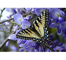 Wysterious Swallowtail Photographic Print