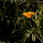 California Poppy in Full Bloom  by Buckwhite