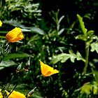 California Poppies in Full Spring Bloom by Buckwhite