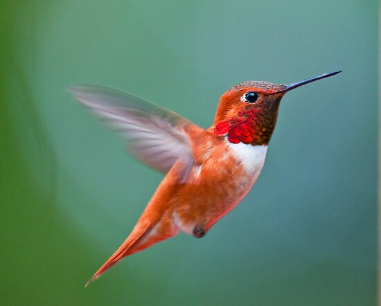 Rufis humming bird by j Kirk Photography                      Kirk Friederich