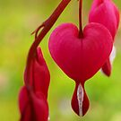 Bleeding Heart by Barbara Gerstner