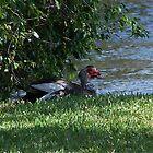 ducks by Liamsmom