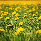 Dandelion Field by photographyjen