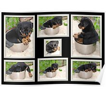 Pot Rottie Collage Poster