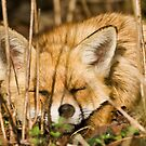 Red Fox Sleeping in the Sun by George Stylianou