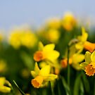 Daffodils by George Stylianou