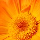 Marigold - Dos by rabeeker
