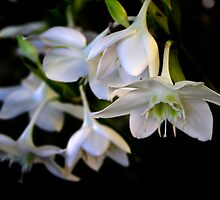 white surprise- Eucharis Grandiflora by picketty