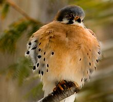 North American Kestrel by sundawg7