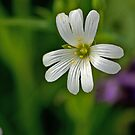 Wild Flowers - Stitchwort by Trevor Kersley