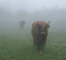 Highland cattle in the mist by Tanya Housham