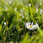 A daisy in the bokeh by benivory