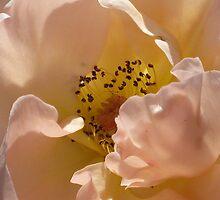 Peach Flower by ShaunaRe