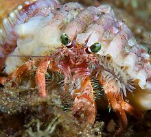 Hermit crab  by Stephen Colquitt