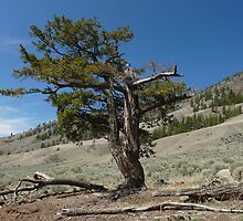 The twisted fir by Darbs