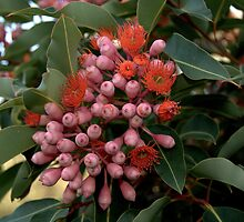 Flowering Gum by Tom Newman