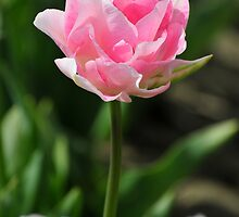Pretty in Pink by genielamb
