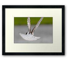 Brown & White Pigeon Framed Print