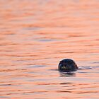 Seal in the Sunset by zpaperboyz