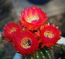 Firey Blooms by davesdigis