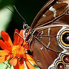 Blue Morpho Eyes by patti4glory