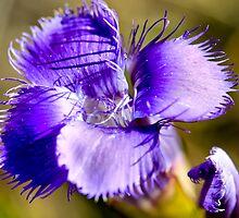 Purple Charmer by Teresa Zieba