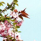 Cherry Blossom... by DoreenPhillips
